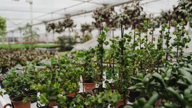 Photo of Growing Vegetables In Greenhouses – Benefits and Disadvantages