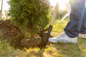 quick tree transplanting services