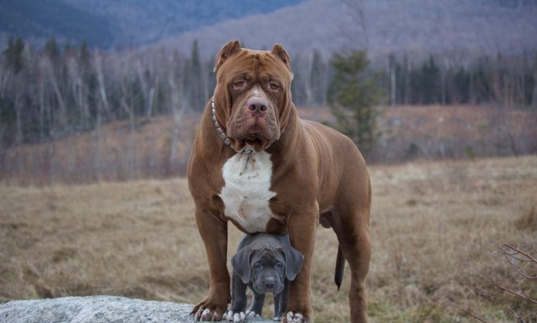 care of a Pitbull puppy