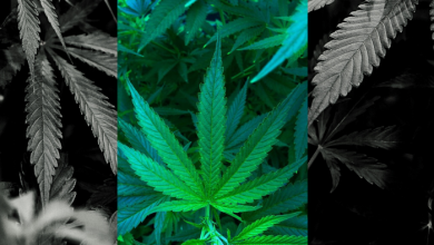 Photo of CANNABIS IS A REAL PART OF WELLNESS DEVELOPMENT